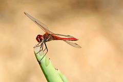 Sympetrum fonscolombii (m) (Roy Lowry) Tags: sympetrumfonscolombii redveineddarter stjuliansbay stjulians dragonfly