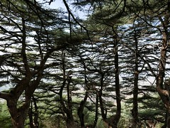 Cedar forest at Al Shouf
