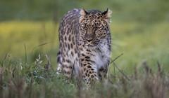 Freya (Jonnyfez) Tags: freya amur leopard big cat yorkshire wildlife park jonnyfez d850