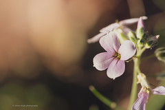 Sony a7rii sony 90mm 2.8 macro g (Jasrmcf) Tags: sony sonymacro sonyalpha sonyg sonyimages sony90mm28 garden nature ngc colours colourful colourartaward dof detail depthoffield decorations smooth blur bokeh bokehgraph bokehlicious fullframe flower petals closeup 90mm dreamy