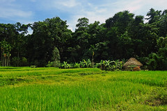 Pastoral beauty !! (Lopamudra !) Tags: lopamudra lopamudrabarman lopa andaman andamanandnicobarislands landscape india diglipur village pastoral livelihood hut home culture cultivation agriculture meadow field green lush verdant tree trees nature simpleton beauty beautiful rural picturesque
