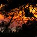20170708_02 Sunrise through pine | Vis Island, Croatia