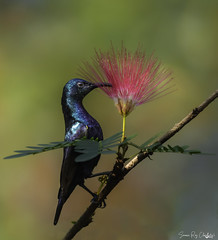 Purple sunbird (soumen608) Tags: birds birdphotography bird nature naturephotography birdsofinstagram wildlifephotography wildlife birdwatching birding best photography animal canon ig animals of about your nuts birdlife brilliance perfection bestbirdshots naturelovers captures eye nikon spy bhfyp bear rock water river grass sky ngc tree purplesunbird