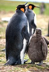 King Penguin and Chick (Thru My Shutter) Tags: yellow kingpenguin chick baby penguin gray black parenting grass feathers green nature outdoors coastal closeup animal flightless marinebird southernhemisphere offroadadventure twtmealphabetgame yisforyoung
