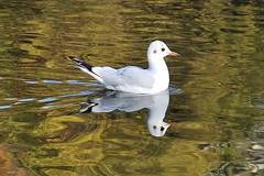 Black Headed Gull...... (markwilkins64) Tags: seagull gull bird nature wildlife water reflection ripples serenity peace glide markwilkins