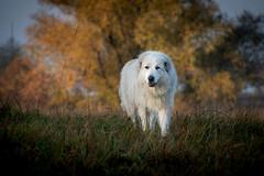 Zando (explored) (www.altglas-container.de) Tags: hund dog pet haustier pyrenäenberghund