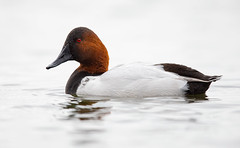 Canvasback Duck Drake (Randy Lowden) Tags: canvasbackduck duck drake migration randylowden