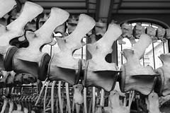 Balaenoptera borealis (just.Luc) Tags: colonnevertébrale wirbelsäule wervelkolom vertebral column whale walvis baleine backbone spine wirbel wervels vertebrae vertèbres skeleton skelet squelette skelett bn nb zw monochroom monotone monochrome bw parijs parigi paris îledefrance france frankrijk frankreich francia frança europa europe museum museo musée museet museu