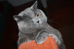 Antonio (Сonstantine) Tags: antonio catslife cats catsoftheworld catscatscats meowmeow meow meowbox portrait animals cute britishcats