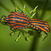 Striped bugs