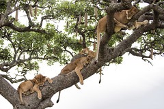 Happy Caturday! (AnyMotion) Tags: lion löwe pantheraleo lioness löwin tree baum liontree 2018 anymotion morukopjes serengeti tanzania tansania africa afrika travel reisen animal animals tiere nature natur wildlife 6d canoneos6d ngc npc