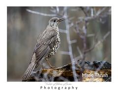 Mistle thrush (T@hir'S Photography) Tags: turdus viscivorus mistle thrush rain nature outdoor bird travel hunza gojal valley pakistan gb wildlife beauty feather close mountain area