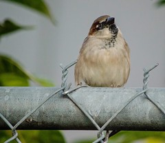 He Just Sat There (ACEZandEIGHTZ) Tags: bird small macro closeup nikond3200 passerdomesticus housesparrow male chainlink fence bokeh feathers wings winged nature coth alittlebeauty coth5 sunrays5
