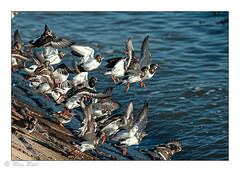 Turnstones (Raymond Best) Tags: turnstones birds seabird sea outside nikon nikond700 sigma