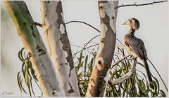 """Life is really simple, but we insist on making it complicated."" _Confucius (Ramalakshmi Rajan) Tags: birds bird nikon nikond750 quotes inmygarden indiangreyhornbill nikkor70300mm nikkor70300mmf4556gafsvrifed"