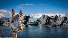 Giraffe-Photoshop (Lothar Heller) Tags: gletscherlagune jökulsárlón lotharheller eis fauna giraffe glacier ice iceland island islandia lagune photoshop