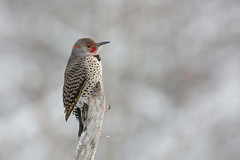 Northern flicker Intergrade (Peter Stahl Photography) Tags: flicker northernflicker nake winter male