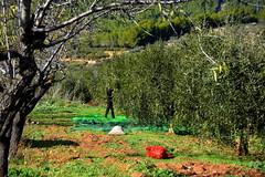 Collint olives les Planes, Torrelles de Foix. (Angela Llop) Tags: catalonia spain penedes barcelona europe olivetree