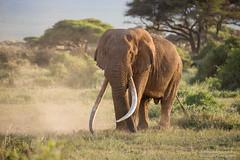 Bull Elephant - Loxidonta africana (rosebudl1959) Tags: kenya november 2019 amboseli zebraplainsamboseli bullelephant bigtusker