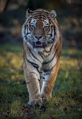 Straight (Jonnyfez) Tags: vlad vladimir yorkshire wildlife park straight eyes tiger amur siberian big cat predator jonnyfez d850