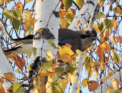 Eurasian Jay, Garrulus glandarius (asterisktom) Tags: eurasianjay garrulusglandarius jay bird vogel ave 鸟 птица 鳥 pajaro trip2019easterneurope 2019 macedonia northmacedonia november ohrid lake