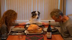 Being Thankful (48/52) (Jasper's Human) Tags: thanksgiving thankful 52weeksfordogs aussie australianshepherd dog turkey humans