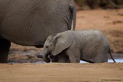 African Elephants (leendert3) Tags: leonmolenaar southafrica krugernationalpark wildlife wilderness wildanimal nature naturereserve naturalhabitat mammals africanelephant ngc npc