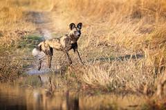 The Pathfinder (Glatz Nature Photography) Tags: africa animal botswana glatznaturephotography khwaicamp nature nikond850 wildanimal wildlife okavangodelta okavango africanwilddog capehuntingdog paintedwolf lycaonpictus