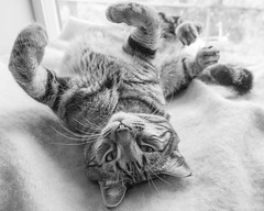 Happy Caturday! (Picture-Perfect Pixels) Tags: windowsill youngnalecat tabbycat happycaturday yogalike funny cute marley cat