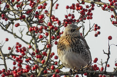 Fieldfare (Pendlelives) Tags: fieldfare field fare winter visitor migrant uk scandinavia nature wildlife countryside bird birds ornithology pendle pendlelives nikon p1000 clarity vibrant vibrance background animals colours colour color feathers british species