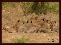 FEMALE LIONESS (Panthera leo)......MASAI MARA......SEPT 2018. (M Z Malik) Tags: nikon d800e 400mmf28gedvr kenya africa safari wildlife masaimara keekoroklodge exoticafricanwildlife exoticafricancats flickrbigcats lioness pantheraleo pride ngc npc