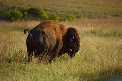 Bison on the plains (radargeek) Tags: september 2018 ok oklahoma wichitamountains refuge buffalo bison