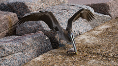 Pelican Lunch (LDMcCleary) Tags: