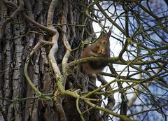 Süßer Blick (KaAuenwasser) Tags: eichhörnchen tier säugetier baum efeu ranken nuss blick süs natur fell pfoten augen november 2019 wald park holz braun rinde eiche