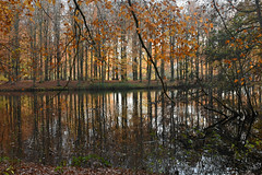 Wood stock (-hndrk-) Tags: youngtrees oldforest autumncolours reflection hethaagsebos thehague thenetherlands nikond7200 hndrk
