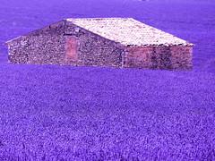 P1810074 (alainazer) Tags: valensole provence france fiori fleurs fields flowers champs colori colors couleurs lavande lavanda lavender pierres piedras pietra stones bâtiment building