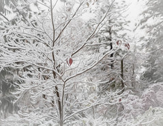 The Last Leaves of Autumn (buffdawgus) Tags: dogwoodtree california 50mm sierranevadafoothills canon50mm18 nevadacity cementhillhouse canon5dmarkiii cementhillroad lightroom6 autumn topazstudio myfrontyard fall nevadacounty snow