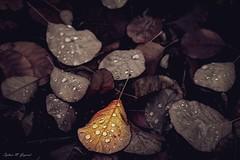 The Last Flame (BookSmellLover) Tags: leaves autumn fading vintage droplets rain garden jesień liście ogród melancholic atmospheric