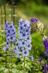 Delphinium elatum (study) (tuvidaloca) Tags: flower azul purple blossom flor lila studie violett inflorescence espueladecaballero desenfoqueparcial candlelarkspur tair11aƒ28135mm dof habit bokeh violet estudio violeta habitus heyday inflorescencia delphiniumelatum infloreszenz hoherrittersporn blütenstand blütezeit floración alpinedelphinium blue study desenfoque blau blooming erscheinungsbild blüte apogeo violado bokehextreme hábito schärfentiefe blurriness unschärfe