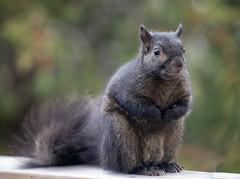 Winter coat (SusieMSB7) Tags: closeup mittens coat animals outdoors nature squirrel