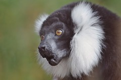 Black-and-white Ruffed Lemur - Varecia variegata (Phasmomantis) Tags: blackandwhite ruffed lemur varecia variegata mammal madagascar pollinator portrait wildlife nature pentax kmount