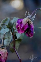 Rose fanée... ( P-A) Tags: fleurs rose fanées mortes automne saison couleurs agonie jardin aménagement artiste nature beauténikond800 photo simpa© simart