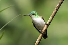 015A4968 Andean Emerald (suebmtl) Tags: ecuador mindo pichinchaprovince hummingbird amazilia amaziliafranciae andeanemerald