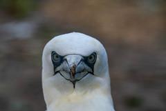 Jan van gent (Nick Dijkstra) Tags: artis basstölpel gannet janvangent kustvogel meeresvogel morusbassanus seabird vogel zeevogel