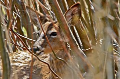 YOUNG DEER HIDDEN in the BUSHES in BOUCHERVILLE ISLAND ( Quebec ) CANADA (Guy Lafortune) Tags: bushes buissons arbre tree trees branche branch nose narine nez nostril teet dent dents eye oeil yeux eyes oreilles grande ears large poil hair animal deer young cerf jeune nature closeup macro narines nostrils canada island boucherville île quebec québec printemps spring 2012