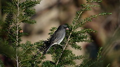 Junco Hyemalis II (AVNativePlants) Tags: native bird wildlife wild nature foraging seed eating hemlock canadian tsuga canadensis tree plant american songbird dark eyed junco sparrow