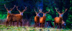 Merry Christmas 2019 (TTbeep) Tags: five stags arty christmas2019 merry wildlife