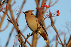 Waxwing (Bombycillidae) (douglasconnery) Tags: waxwing canon7dmk2 berries feeding stmeddansst troon bombycillidae bird ornithology ayrshirebirds ayrshire solo bokeh red brown yellow migrant