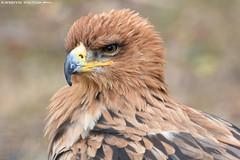 Savannah eagle (Mandenno photography) Tags: bird nature birds animal animals eagle ngc nederland savannah netherlands belgium belgie bbc discovery falconry natgeo natgeographic valkerij bbcearth