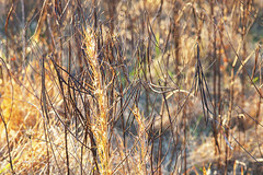 Last of the Fall Glow, Weeds (cobalt123) Tags: east fall glenmills goldenhour pennsylvania composition nature weeds glow fading weathering wilting grasses